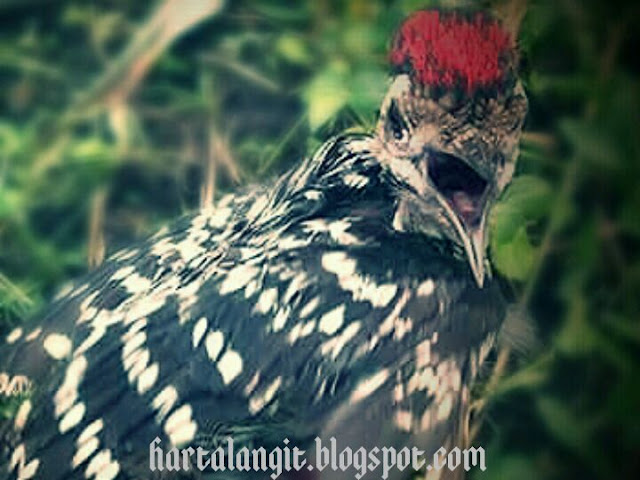 khasiat burung pelatuk bawang - harta langit
