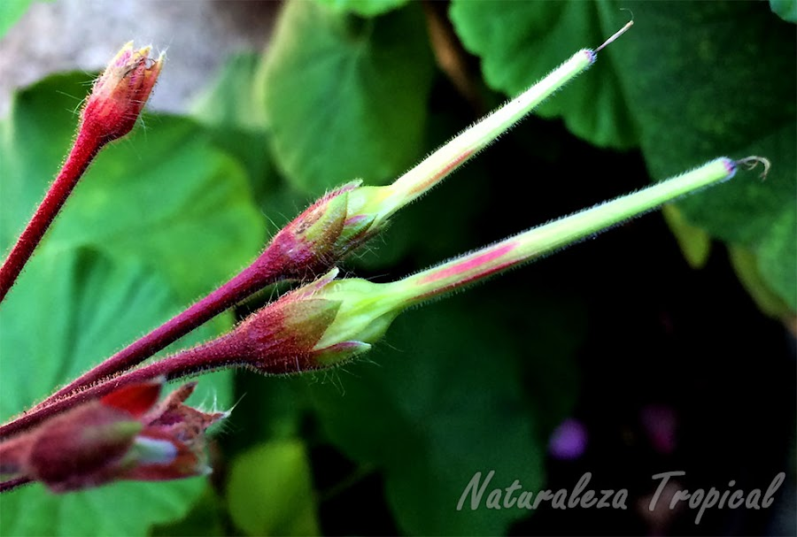Semillas en formación de una especie de geranio, Pelargonium sp