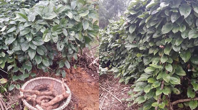 HOÀI SƠN - Dioscorea persimilis - Nguyên liệu làm Thuốc Bổ, Thuốc Bồi Dưỡng