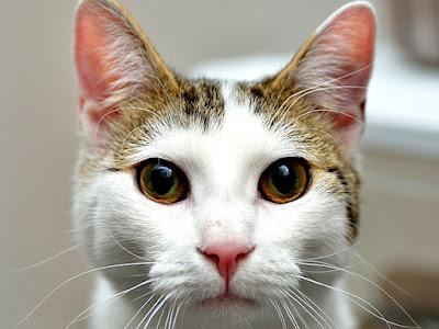 Cats (Felis catus) images