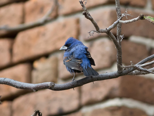 Blue Grosbeak - Dry Tortugas NP, Florida