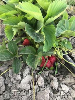 Michaelis Family Farm - corn (sweet), raspberries (red), raspberries (Spring, red), raspberries (Autumn, red), strawberries, tomatoes