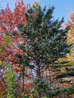 Maple And Conifer, Greenlink Trail, Cape Breton Island