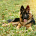 The German Shepherd Handbook #Review Dogs