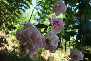 rose, roses, garden, garlic, companion planting, smell