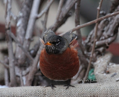 """This picture was taken in a NYC rooftop garden during winter so the containers have been wrapped in burlap for protection from cold temperatures. The focus of the image is a young robin who is standing on the burlap and appears to be looking up to her right at something unbeknownst to me. The bird's yellow beak is closed. The garden is the setting for my three volume book series, """"Words In Our Beak.""""  Robins are featured in the third volume. Info re these books is within another post within this blog @ https://www.thelastleafgardener.com/2018/10/one-sheet-book-series-info.html"""