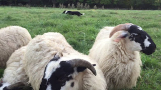 Scottish Blackface Sheep Characteristics, Wool, Meat Quality, Price