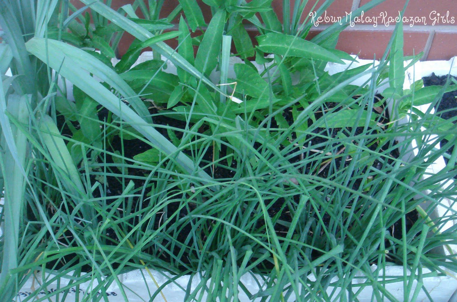 Kebun Malay-Kadazan girls: Leek Lucky Mate Leek Companion Plants