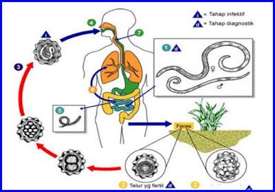 nemathelminthes gambar daur hidup human papillomavirus vaccine dosage schedule