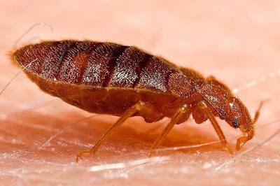 What do Bed Bug Look Like to the Human Eye?