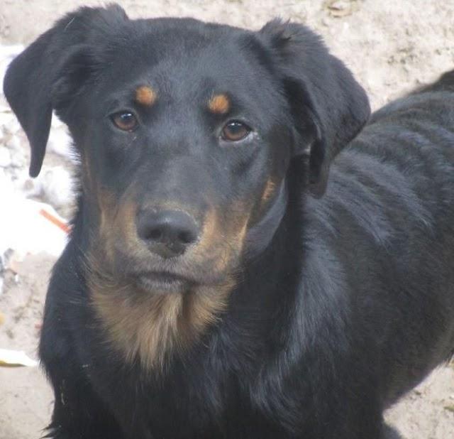Borador (Border Collie Labrador Retriever mix) Temperament, Size, Lifespan, Adoption