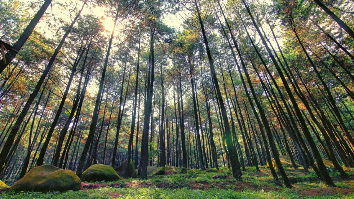 Lokasi Hunting Foto Landscape di Gowa hutan pinus malino
