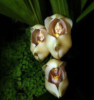 Kundaktaki Bebek Orkidesi