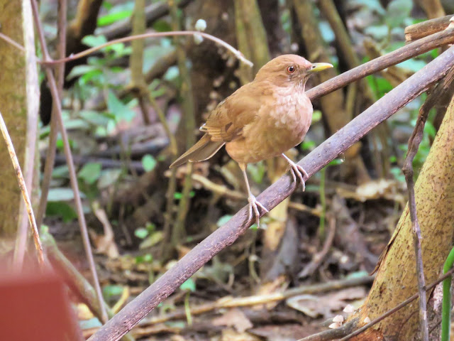 Costa Rica National Bird: Clay-colored thrush