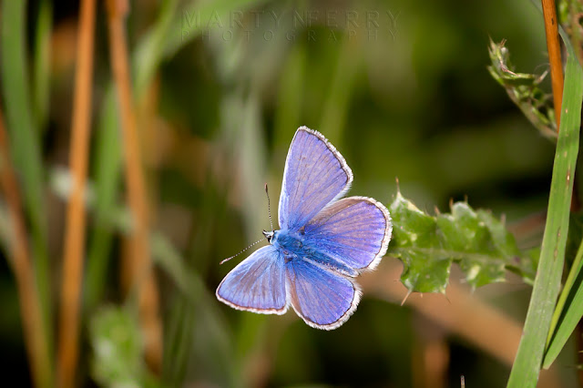 A common blue butterfly spreads its wings at Ouse Fen Nature Reserve