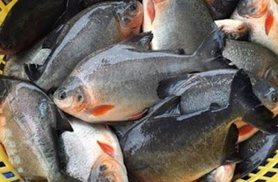 Manfaat Ikan Bawal