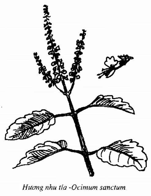 Hình vẽ Hương Nhu Tía - Ocimum sanctum - Nguyên liệu làm thuốc Chữa Cảm Sốt