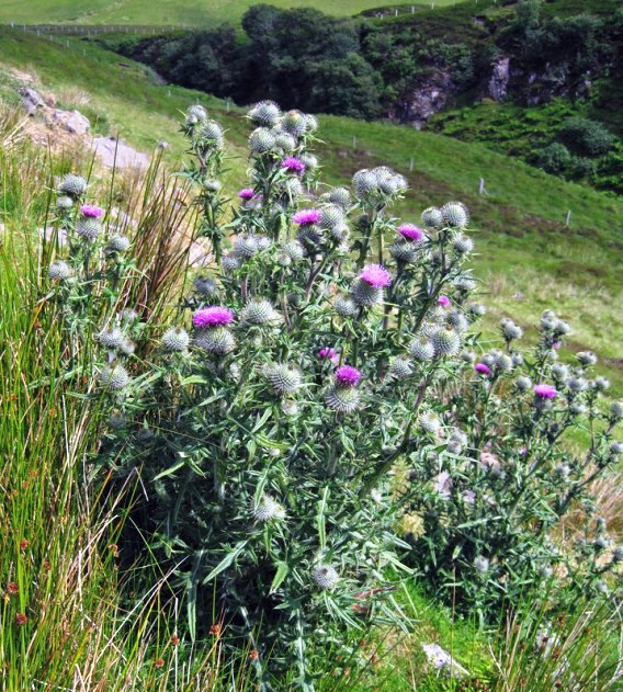 A big clump of thistles growing on a hillside