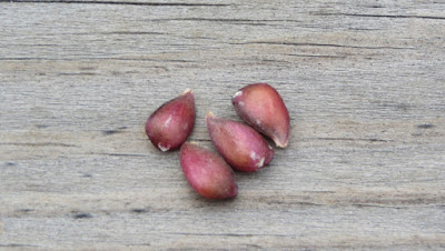 Four red-tinged apple pips