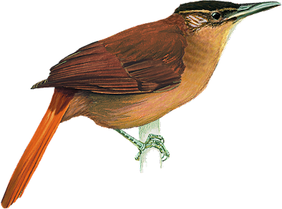 Cichlocolaptes mazarbarnetti