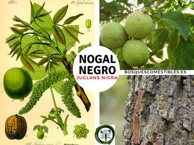 El Nogal Negro o Americano, Junglans nigra, tiene Propiedades Medicinales Astringentes