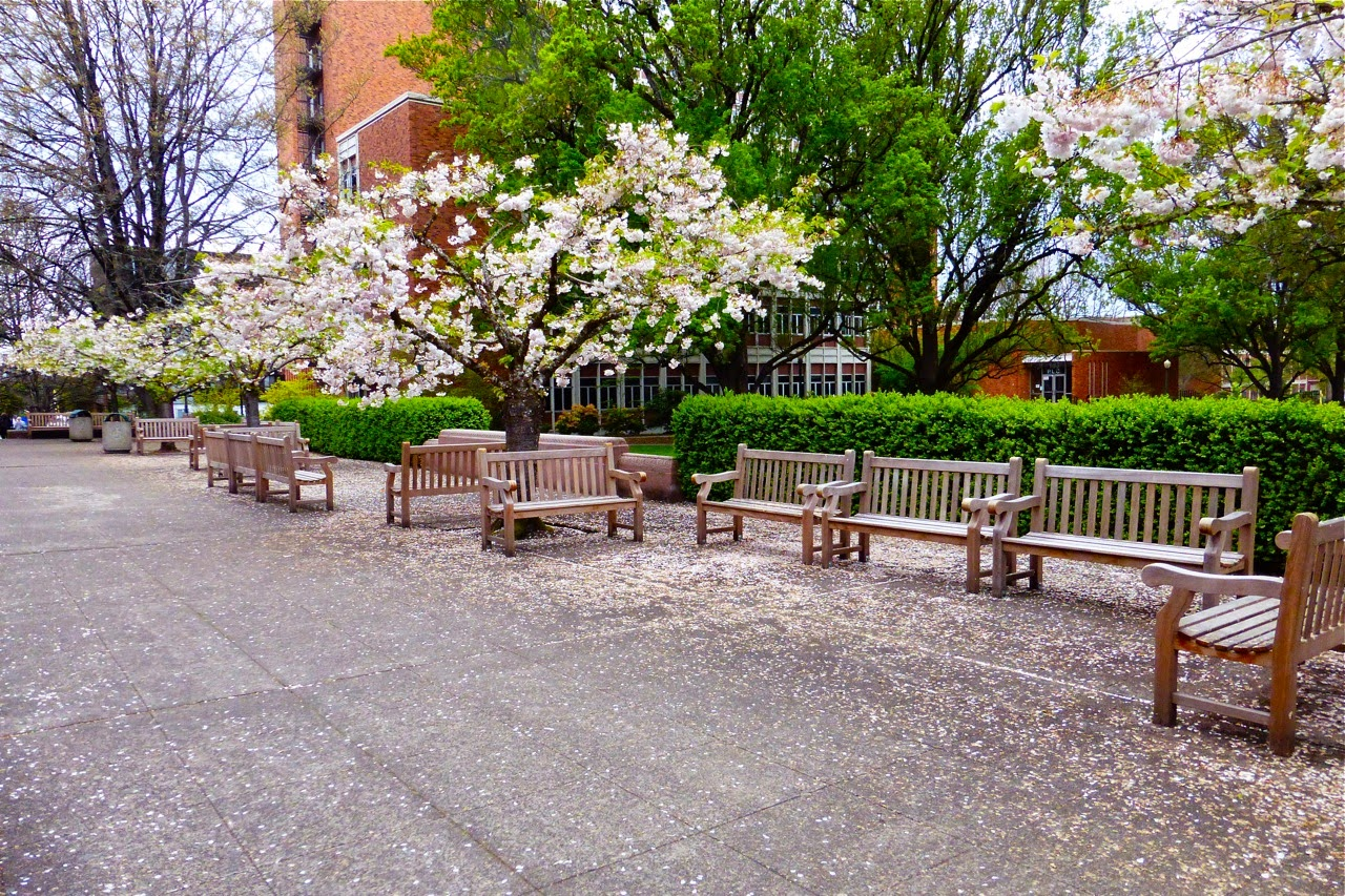 spring, flowering trees, ornamental trees, blossom trees, campus, university campus, spring walk, spring campus walk