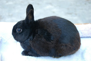 Polish black dwarf rabbit