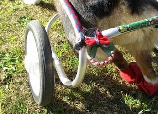 cadeira de rodas para cães decorada