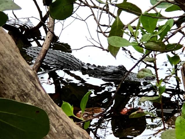 Alligator on Sanibel Island