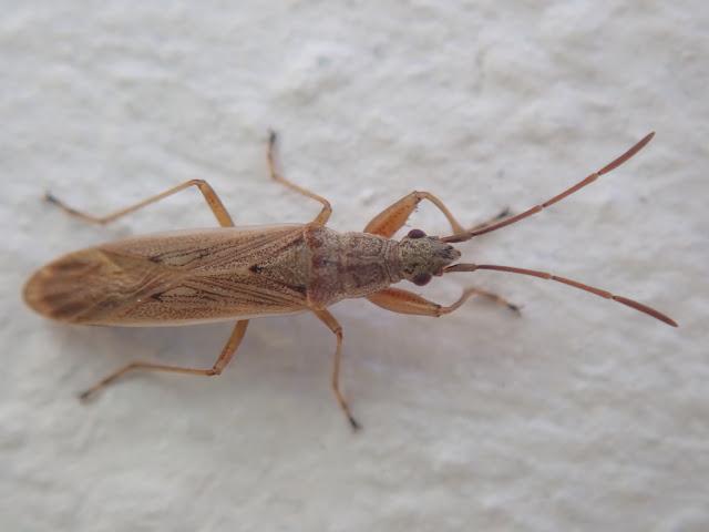 Paromius gracilis