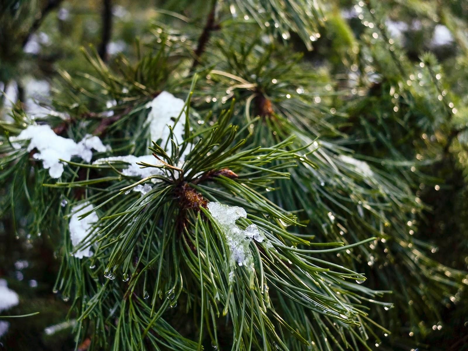 Close up of a conifer branch with speckles of melting snow and droplets shining in the sunlight.