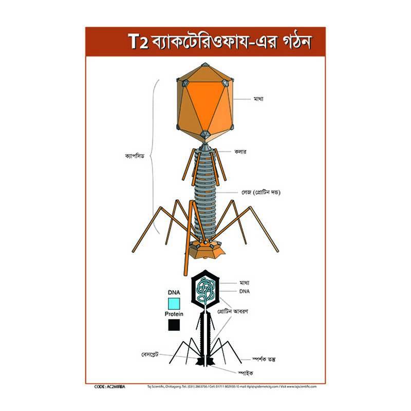T2/t2 ফায ভাইরাস এর গঠন | T2 ফায ভাইরাসের আকৃতি | ফায ভাইরাস দেখতে কেমন | ফায ভাইরাসের চিত্র | ফায ভাইরাসের মাথা | ফায ভাইরাসের লেজ