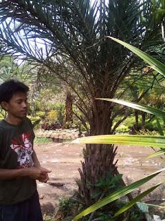 Gambar pohon palm kenari silvertris harga paling murah