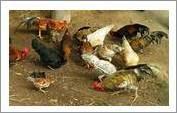 Merawat ayam kampung dengan tepat