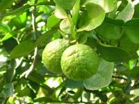 Manfaat Tersembunyi dari Daun Jeruk Purut Untuk Tubuh Kita