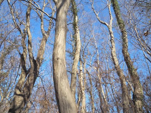 青空バックに冬木立が映える