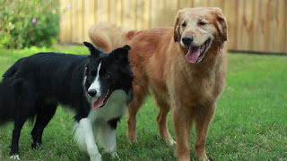 Golden Retriever Border Collie Mix Temperament, Size, Lifespan, Adoption, Price