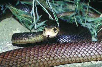 A Taipan é uma cobra da família Elapidae encontrada no litoral e no outback australiano
