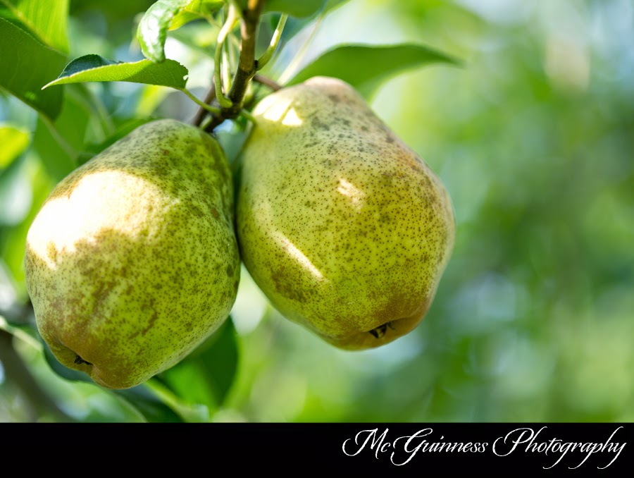 Kieffer Pears Can Be Tricky Take Them Off The Tree Too Early And They Won T Ripen Correctly Late Skin Will Mealy With