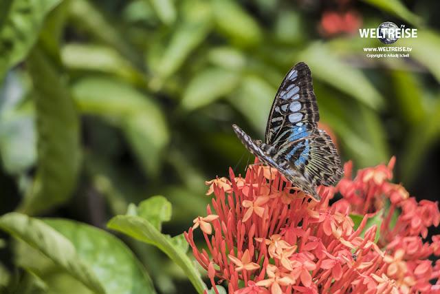 Parthenos sylvia, Blauer- oder Brauner Segelfalter. WELTREISE