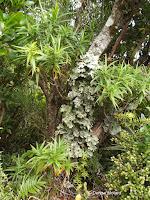 Large lichens on tree - Mount Taranaki trail, New Zealand