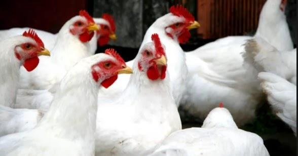 Cara Terbaik Pengendalian Hama & Penyakit Ayam Broiler ...