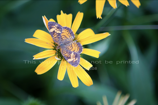 False Sunflower-Butterfly_6119