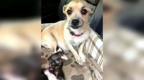 Маленькая беременная собачка должна была лишится жизни, хозяева больше не хотели за ней ухаживать!