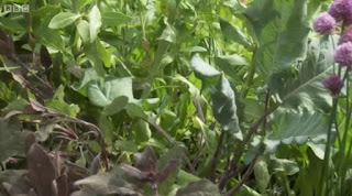 Runner beans, sage and chives
