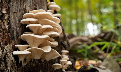 Mushroom supply in Maharashtra