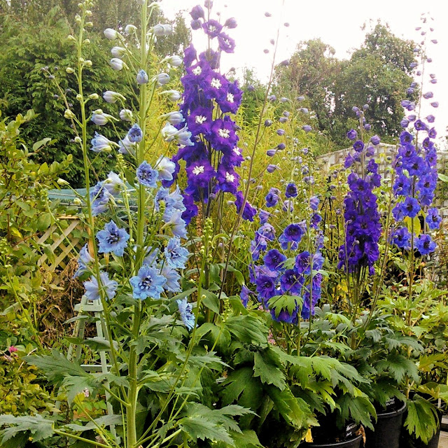 Mixed Delphiniums bulking up in 10L pots. Left to right: Delphinium Pandora, Nobility, Cassius, Purple Velvet, and a seedling from my delphinium society seeds 2018