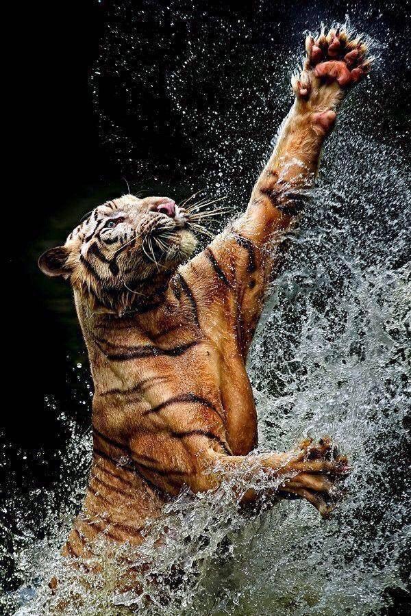 Big tiger makes big splashes