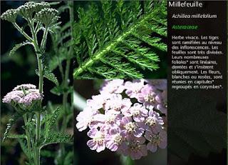 Remède plante crampe musculaire