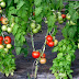 How to graft tomato #diy project